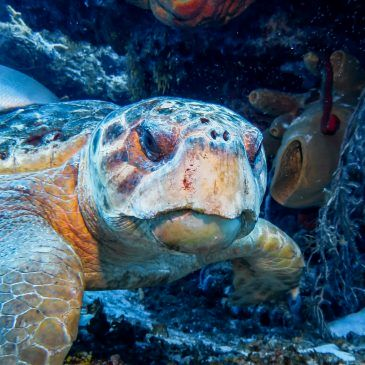 Protecting the Turtles of Antigua